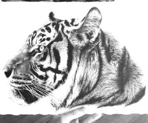Tiger head pencil drawing by Stephen Ward